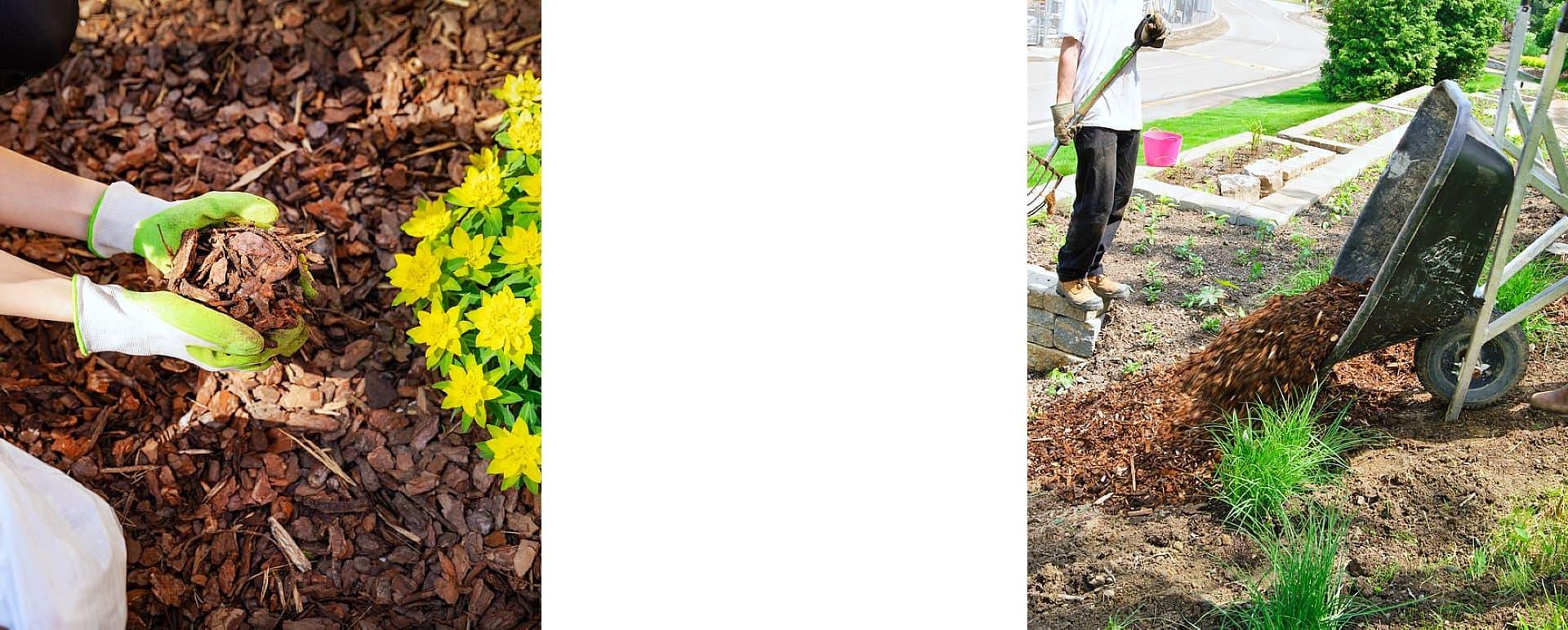 gardener mulching flower bed pine tree and barrow load of mulch