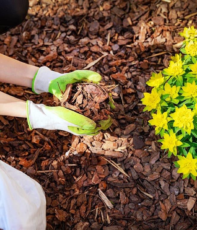 gardener mulching flower bed pine tree